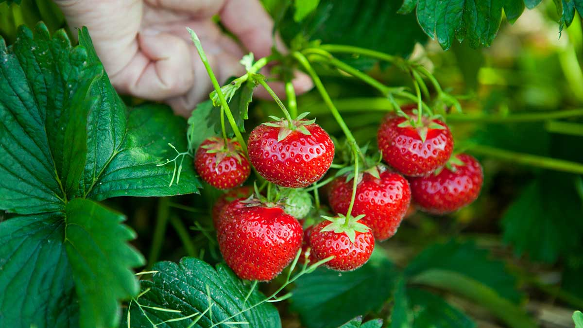 how-do-strawberries-grow