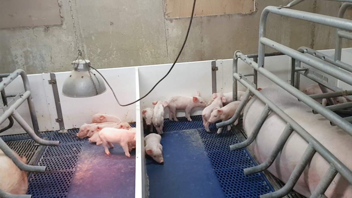 pigs-farrowing-crate