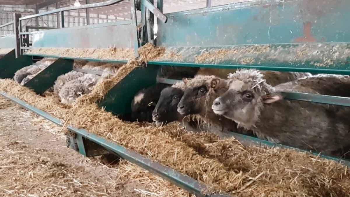 feeding-lambs