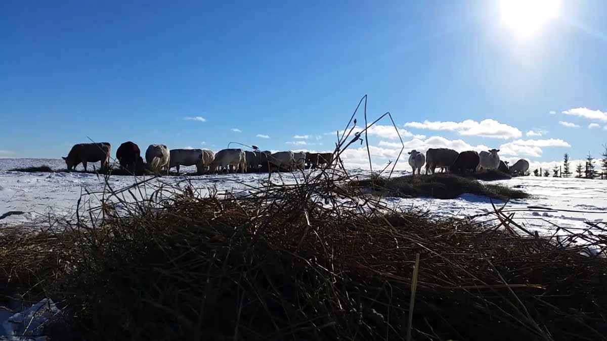winter-beef-cattle