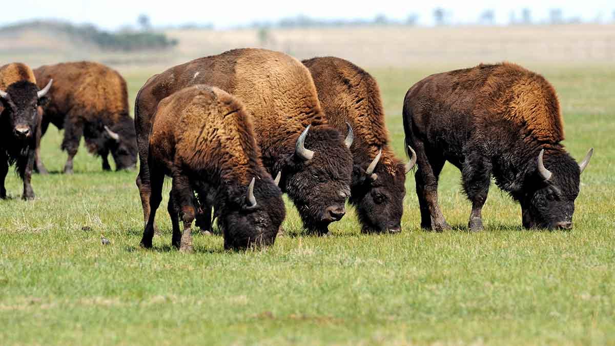 grazing-bison