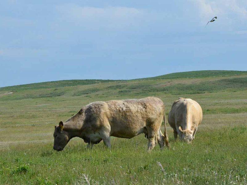 Raising-beef-cattle