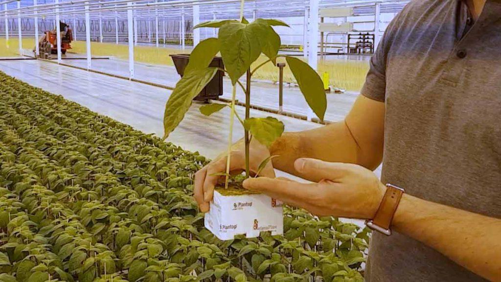 greenhouse-pepper-plant
