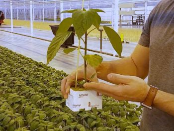 greenhouse-pepper-plant