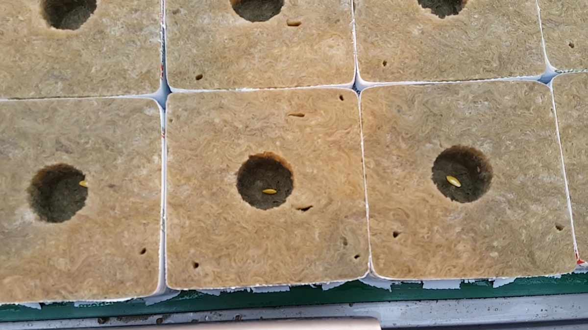rockwool-cucumber-seed