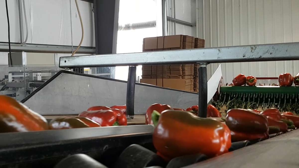 pepper-packing-plant
