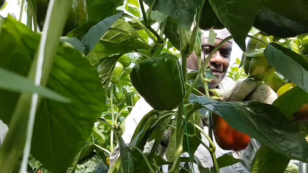 foreign-worker-greenhouse