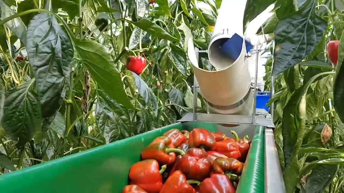 picking-red-peppers