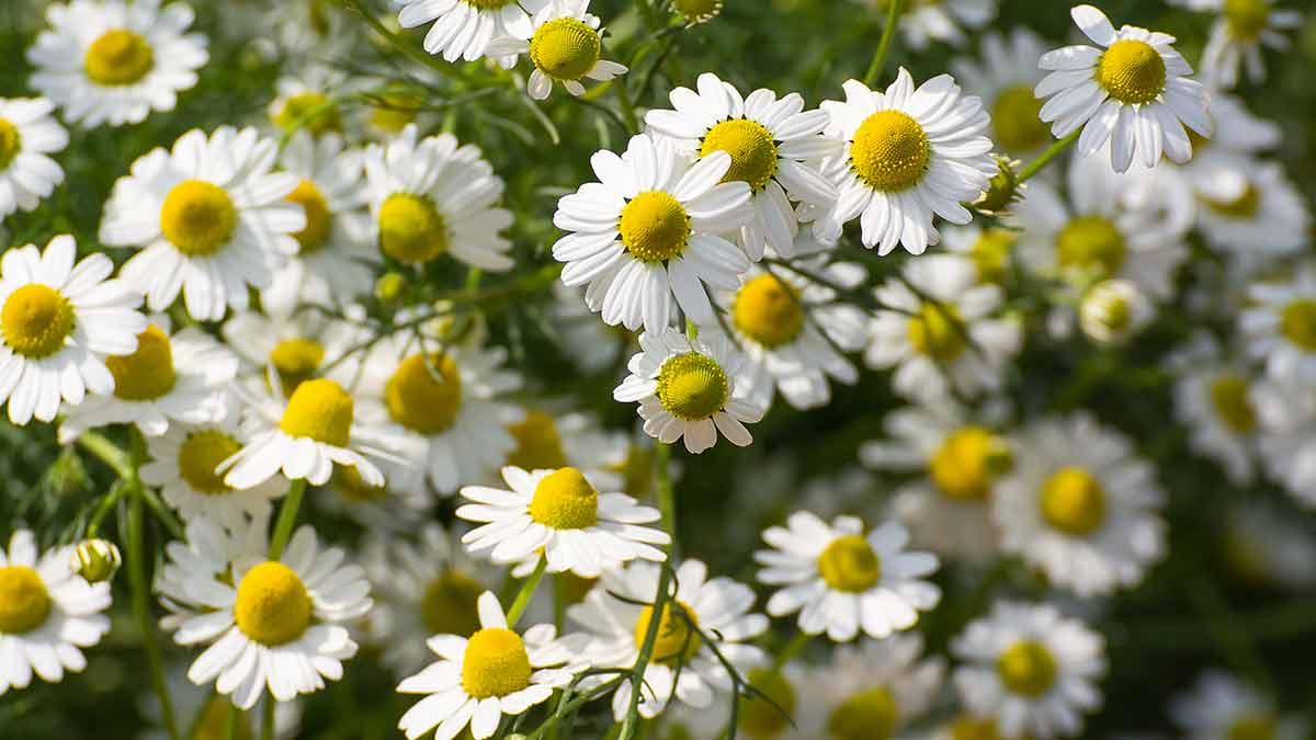 chamomile-plants