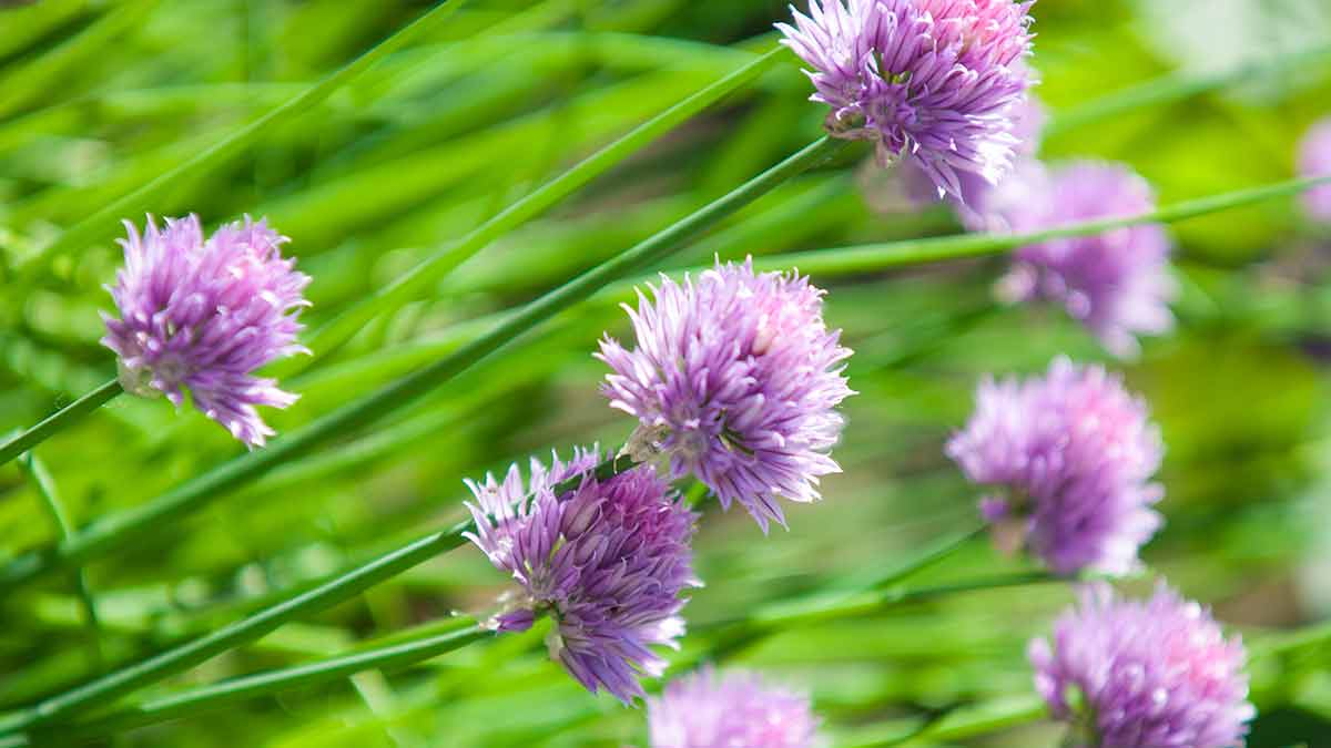chives-with-flowers