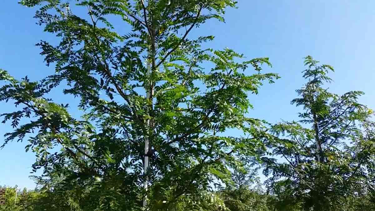 tree farming 1