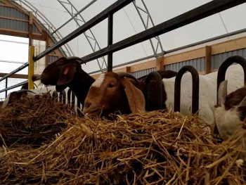 boer goats eating hay