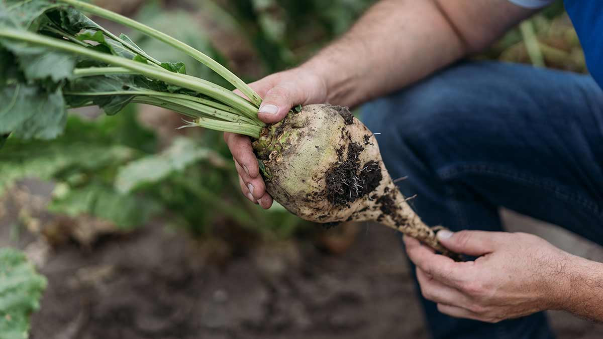sugar-beet-in-hand