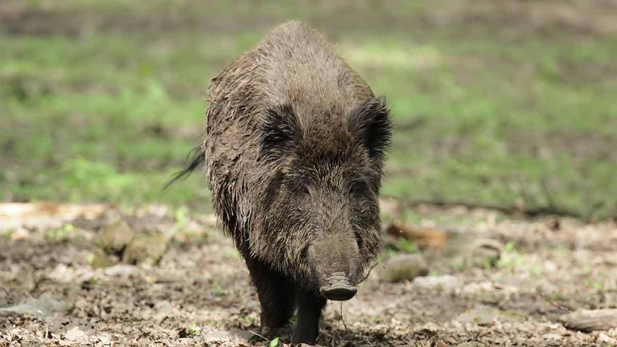 wildboar in pasture