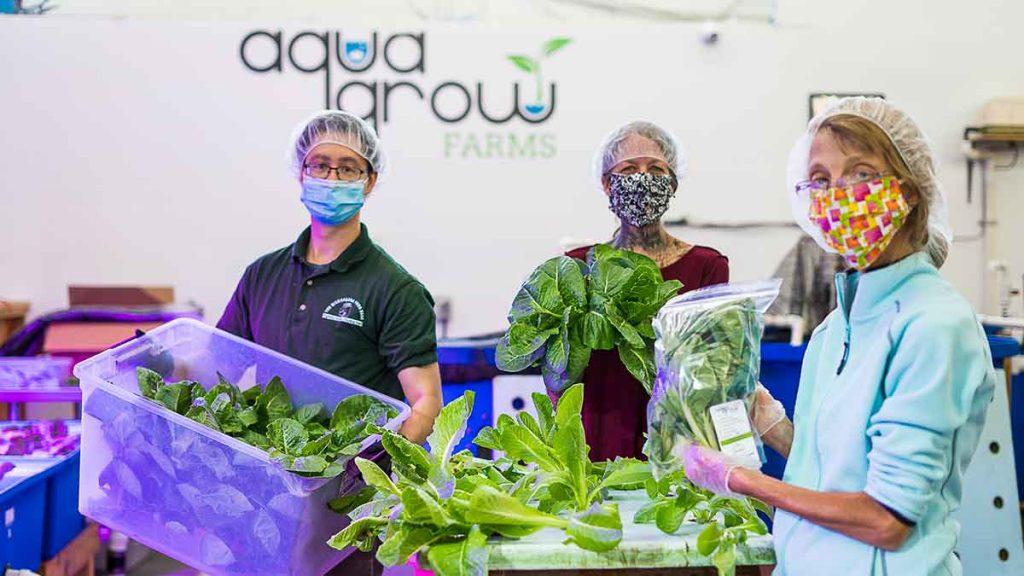 aquaponics growing lettuce
