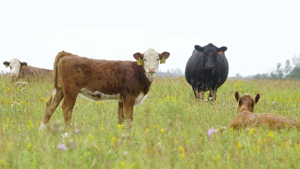 cattle gazing forage