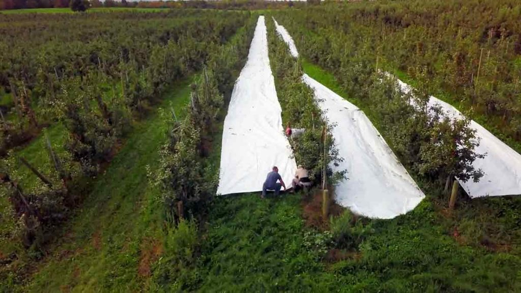 apple orchard white cloth