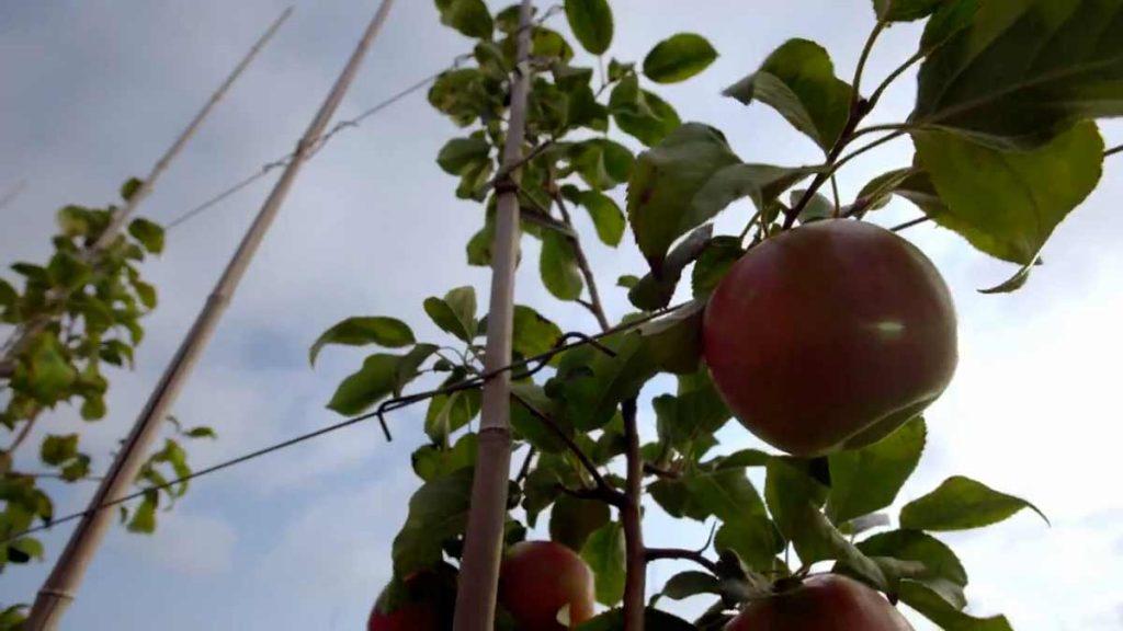 apple trellis