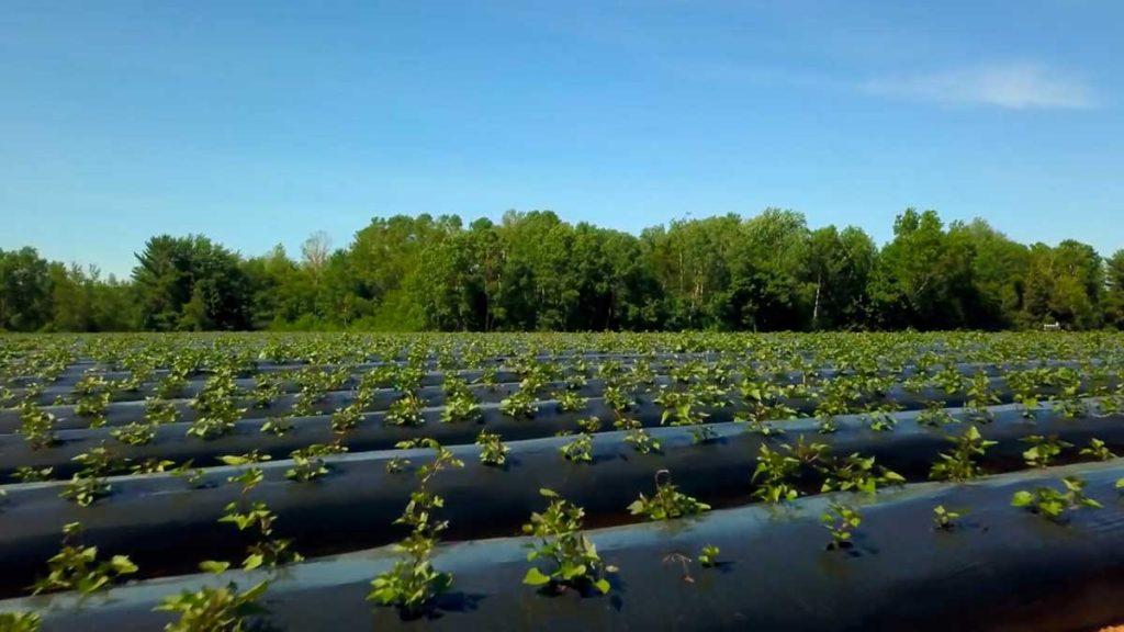 sweet potatoes in field