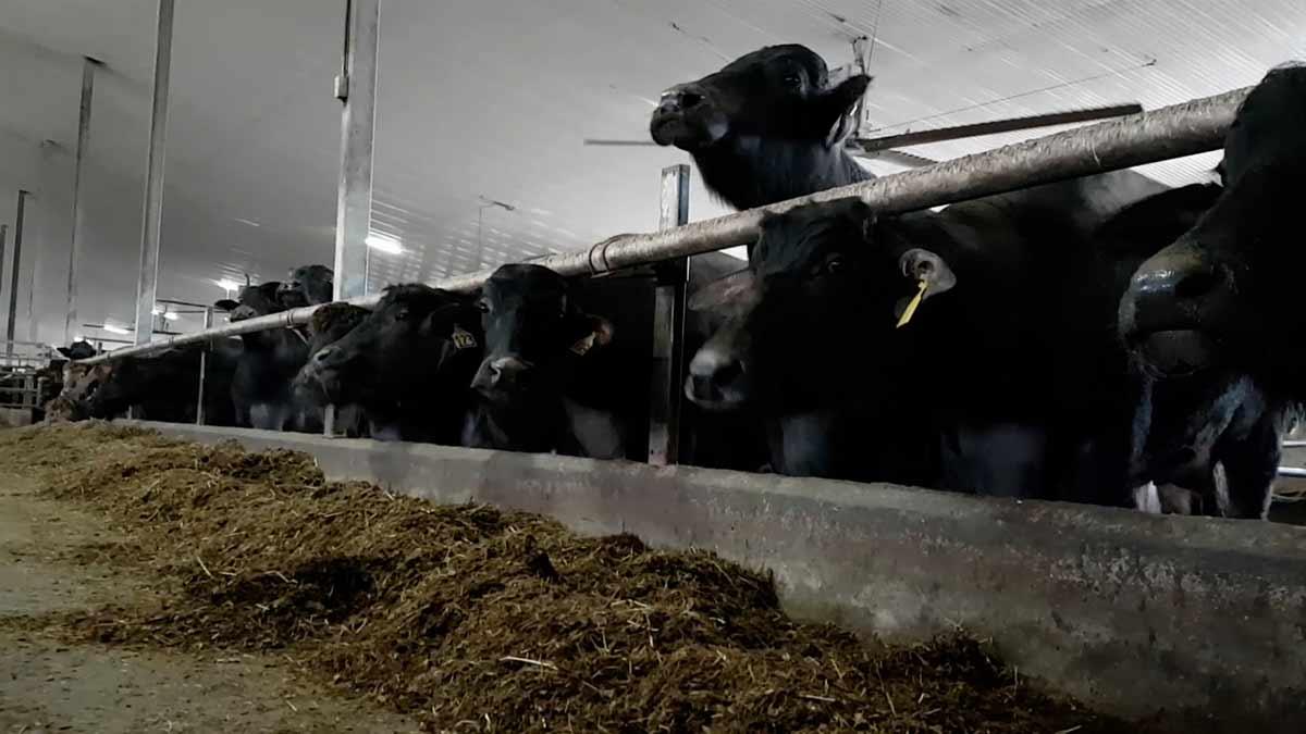 water buffalo in a barn